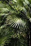 Drzewko palmowe liście zdjęcie royalty free