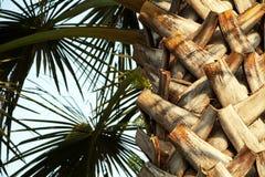 Drzewko palmowe liście w świetle słonecznym przeciw niebieskiemu niebu i bagażnik Zdjęcie Stock
