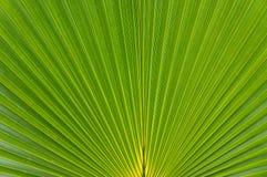 Drzewko palmowe liść Fotografia Royalty Free