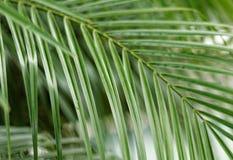 Drzewko palmowe liście Zdjęcia Stock
