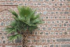 Drzewko palmowe na antycznej ścianie fotografia stock