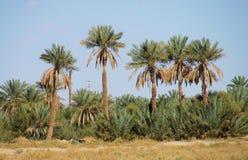 Drzewko palmowe oaza w Afryka Zdjęcia Royalty Free