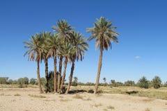 Drzewko palmowe oaza w saharze Zdjęcie Stock
