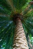 Drzewko palmowe - oddolny widok obrazy stock