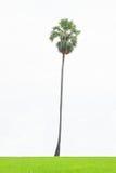 Drzewko palmowe odizolowywający na białym tle, Kokosowy drzewko palmowe odizolowywający na białym tle Zdjęcie Stock