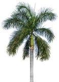 Drzewko palmowe odizolowywający na bielu fotografia stock