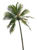 Drzewko palmowe odizolowywający Zdjęcie Stock