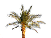 drzewko palmowe odosobniony biel Fotografia Stock