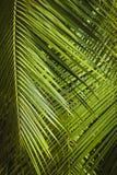 Drzewko palmowe opuszcza tło Zdjęcia Stock