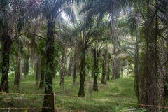 Drzewko palmowe plantacja dokąd tam był once tropikalny las deszczowy Kuching, Borneo w Malezja obrazy stock