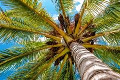 Drzewko palmowe przeglądać spod spodu upwards wysokości above Zdjęcia Royalty Free