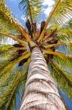 Drzewko palmowe przeglądać spod spodu upwards wysokości above Obrazy Royalty Free