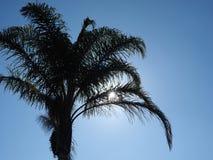 Drzewko palmowe sylwetka przed błękit chmurą mniej nieba Obraz Stock