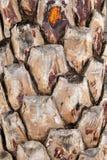 Drzewko palmowe tekstura Zdjęcia Stock