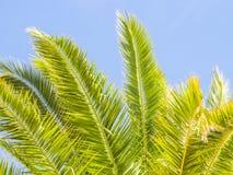 Drzewko palmowe w Algarve regionie, Portugalia Fotografia Stock