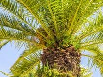 Drzewko palmowe w Algarve regionie, Portugalia Zdjęcie Royalty Free