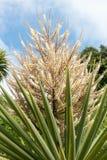 Drzewko palmowe w kwiacie Obrazy Stock