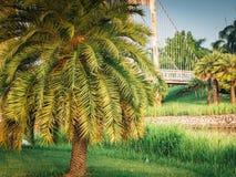 Drzewko palmowe w miasto parku na lato sezonie Obraz Royalty Free