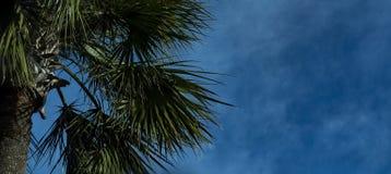 Drzewko palmowe w niebieskich niebach obraz royalty free