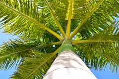 Drzewko Palmowe w niebieskie niebo Królewskiej palmie Kuba obrazy stock