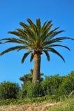 drzewko palmowe w ogródzie Obrazy Royalty Free
