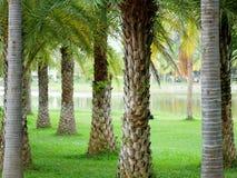 Drzewko palmowe w parku, Nong Prajak, Udonthani, Tajlandia Obraz Royalty Free