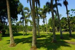 Drzewko palmowe w rzędzie z czystą zieloną trawą z niebieskim niebem w tropikalnej wyspie - fotografia Bogor zdjęcia stock