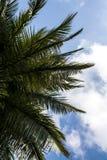 Drzewko palmowe wierzchołek obrazy royalty free