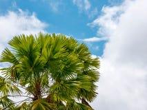 Drzewko palmowe z niebieskiego nieba tłem Obrazy Stock