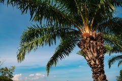 Drzewko palmowe z owoc przeciw niebieskiemu niebu Obraz Royalty Free