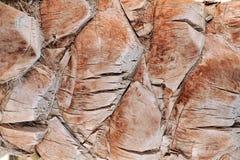 Drzewko palmowe zamknięty tekstura up Zdjęcia Stock