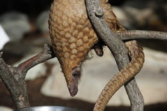 Drzewna łuskowiec (Manis tricuspis) zdjęcie stock