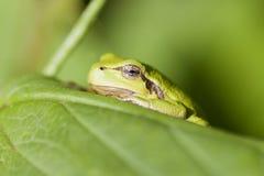 Drzewna żaba - Hyla arborea Zdjęcia Stock