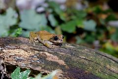 Drzewna żaba na beli fotografia stock