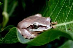 Drzewna żaba w czterdzieści mrugnięciu obrazy stock