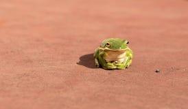 Drzewna żaba Zdjęcie Stock
