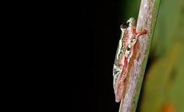 Drzewna żaba -1 Obrazy Stock