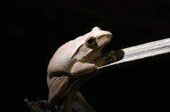 Drzewna żaba na czarnym tle Obrazy Royalty Free