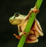 Drzewna żaba studiuje krajobraz Zdjęcia Stock
