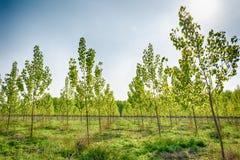 Drzewna aleja przy wiosną Obrazy Royalty Free