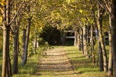 Drzewna aleja z yellowing liśćmi w późnym lecie Fotografia Stock