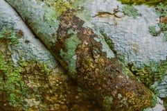 Drzewna barkentyna z liszaj teksturą zdjęcie royalty free