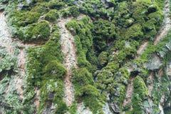 Drzewna barkentyna z udziałami mech i liszaj fotografia stock