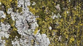 Drzewna barkentyna z wiele foremki tekstury tło Zdjęcie Stock