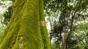 Drzewna barkentyna z zielony mechatym zielony mech dorośnięcie na drzewnym bagażniku w lesie tropikalnym obraz stock