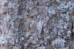 Drzewna barkentyna zakrywająca z mech Obraz Stock