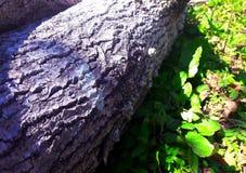 Drzewna bela Zdjęcie Stock