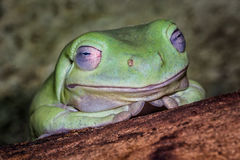 Drzewna biel żaba Fotografia Royalty Free