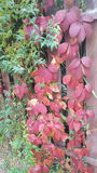 Drzewna czerwień i zieleń Obraz Royalty Free