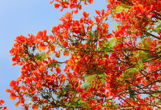 Drzewna czerwona akacja obraz stock